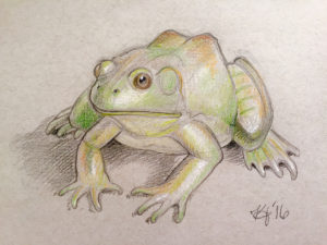 Illustration of Frog by Kelsey Jordan